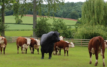 bronze sculpture hereford bull with heifers